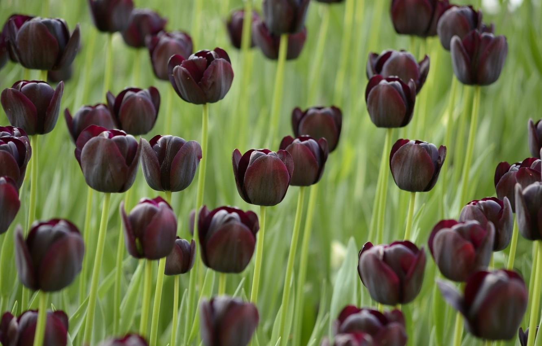 Photo wallpaper field, Tulips, black, field, dark, black, tulips