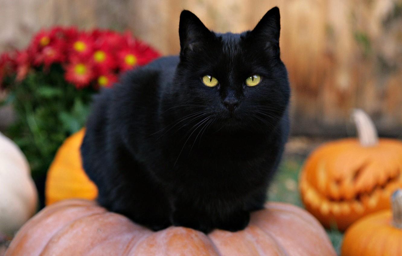 Wallpaper Cat Pumpkin Halloween Black Cat Images For Desktop Section Koshki Download