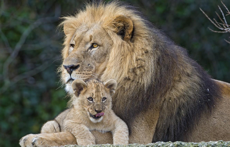 Photo wallpaper cats, Leo, lion, пара ©Tambako The Jaguar