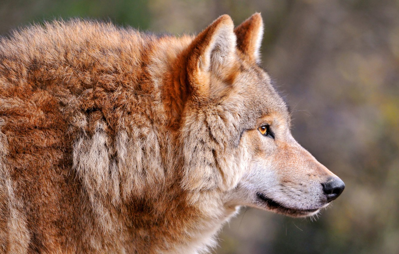 Photo wallpaper wolf, Wolf, canis lupus