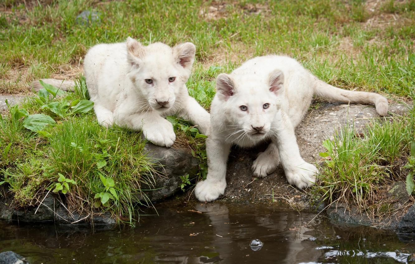 Photo wallpaper cat, grass, kittens, the cubs, white lions, pond, lion
