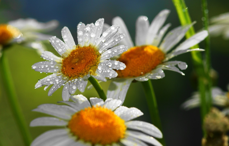 Photo wallpaper drops, flowers, nature, chamomile