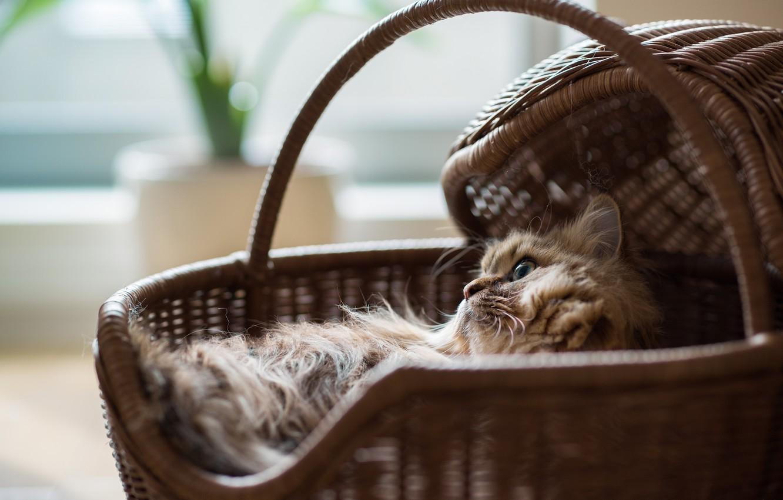 Photo wallpaper cat, stay, basket, basket, Daisy, Ben Torode, Benjamin Torode