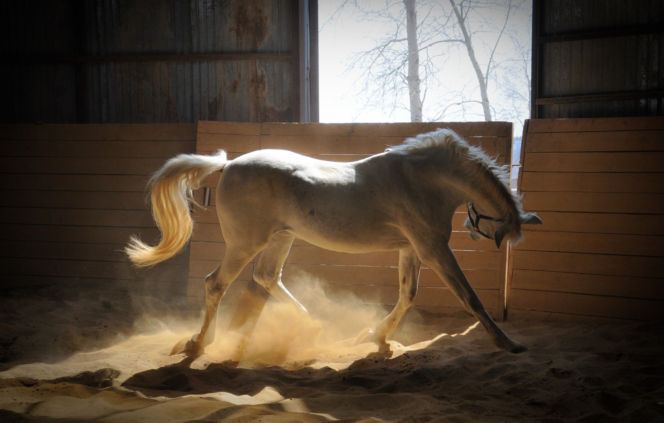 Photo wallpaper sand, Horse, white, the rays of the sun, corral