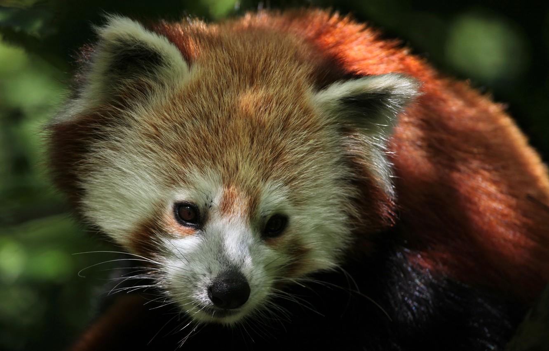 Photo wallpaper leaves, cats, nature, blur, red Panda, food, animals, nature, bokeh, cute, shoots, travel, wallpaper., red …