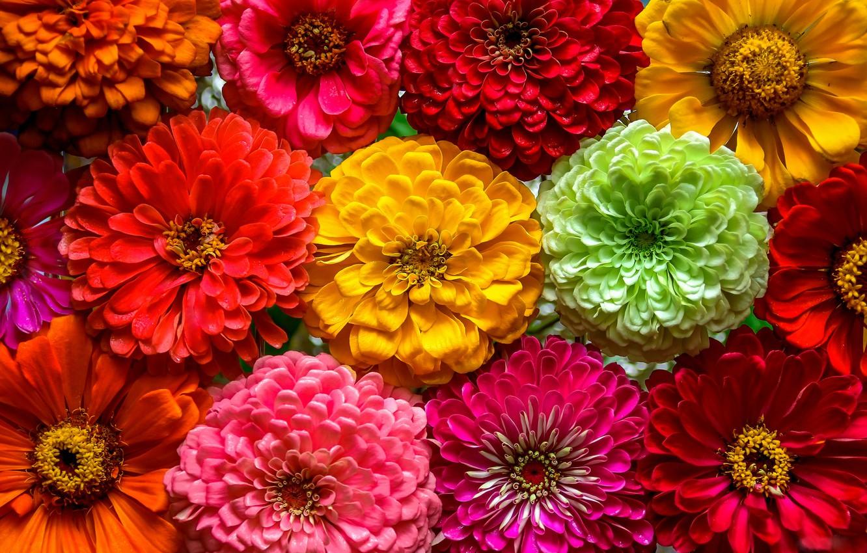 Photo wallpaper macro, colorful, a lot, Zinnia