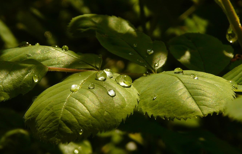 Photo wallpaper leaves, drops, light, Rosa, rose