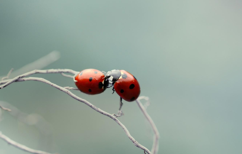 Photo wallpaper macro, branch, ladybugs, of God