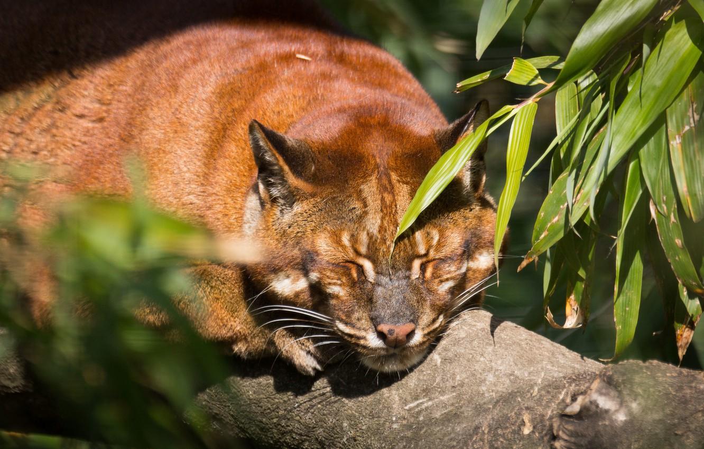 Photo wallpaper cat, face, leaves, the sun, stay, sleep, Golden cat, tamminga