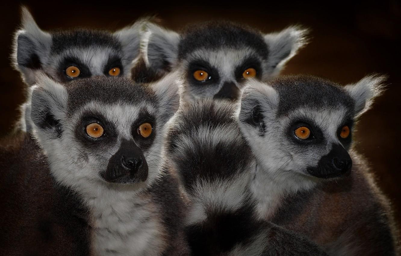 Photo wallpaper eyes, lemurs, faces