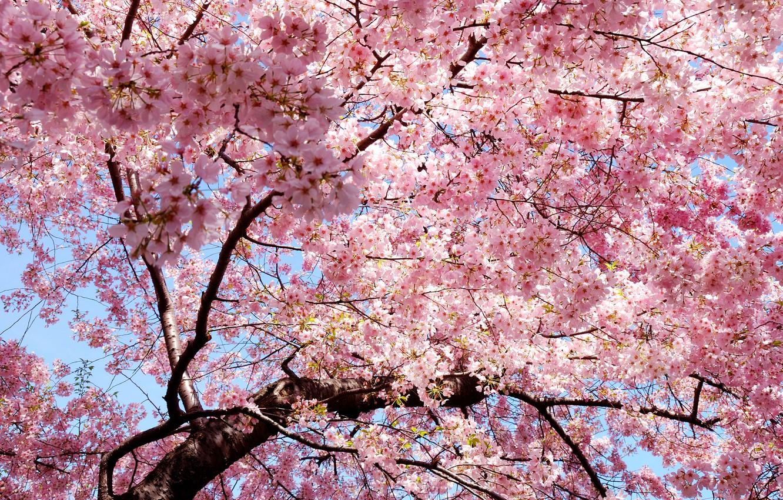 Photo wallpaper branch, spring, petals, Sakura, East, Japan, pink, sakura