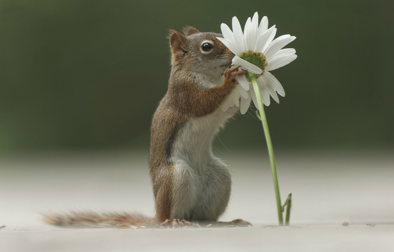 Photo wallpaper flower, grass, Daisy, protein, grass, forest, flower, daisy, squirrel, Emi