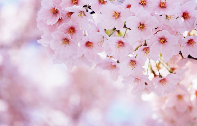 Photo wallpaper flowers, nature, cherry, spring, petals, Sakura, flowering, sakura