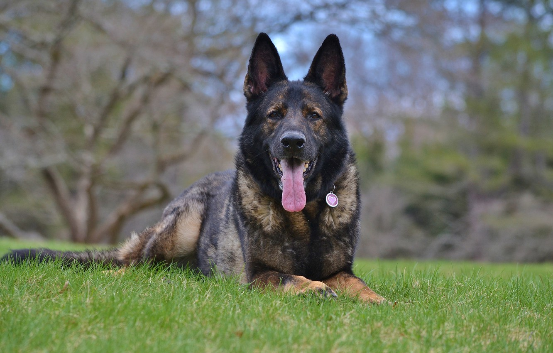 Wallpaper dog, German shepherd, sable