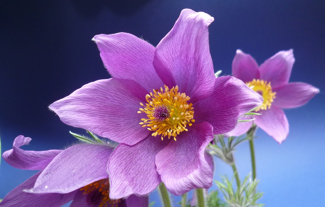 Photo wallpaper macro, sleep-grass, cross, anemone