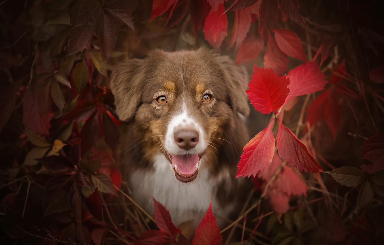 Photo wallpaper autumn, language, eyes, look, face, leaves, branches, dog, the bushes, shepherd, Australian, the crimson, Aussie