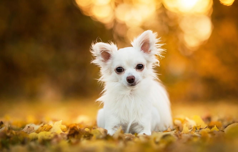 Photo wallpaper leaves, dog, Chihuahua, bokeh, doggie