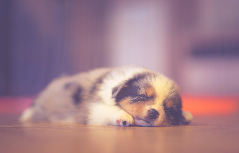 Photo wallpaper puppy, sleeping, dreaming, australian shepherd