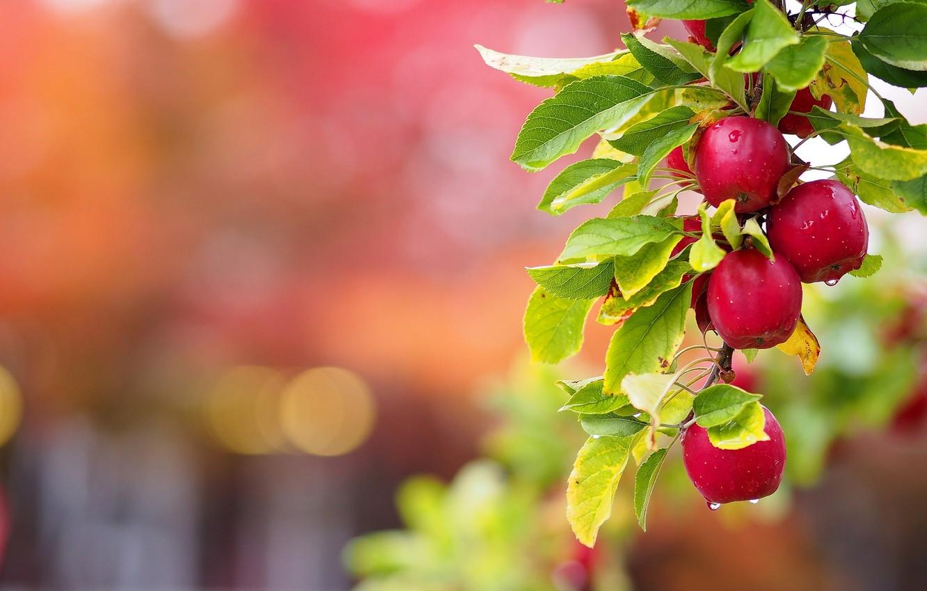Photo wallpaper leaves, apples, branch, branch of Apple