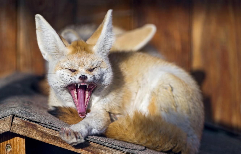 Photo wallpaper face, Fox, fangs, yawns, Fenech, ©Tambako The Jaguar