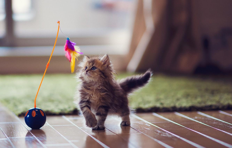 Photo wallpaper cat, kitty, carpet, toy, feathers, flooring, Daisy, Ben Torode