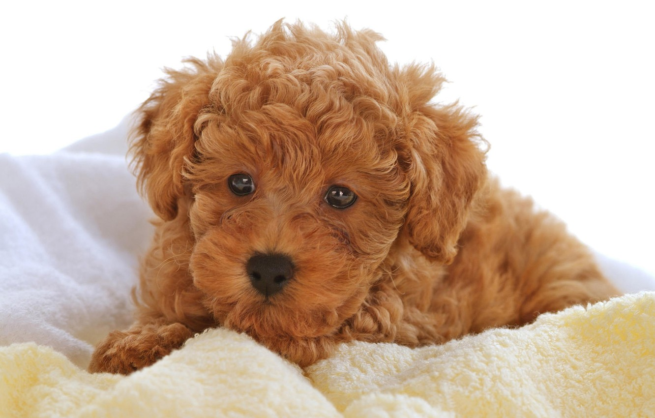 Photo wallpaper baby, puppy, curly