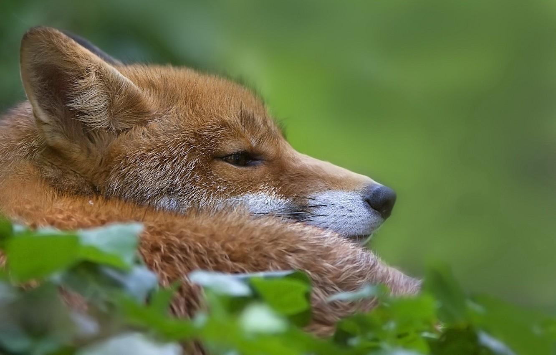 Photo wallpaper Fox, lies, green background