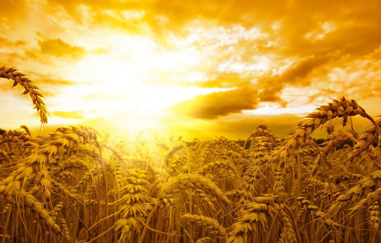 Photo wallpaper field, the sun, sunset, ears