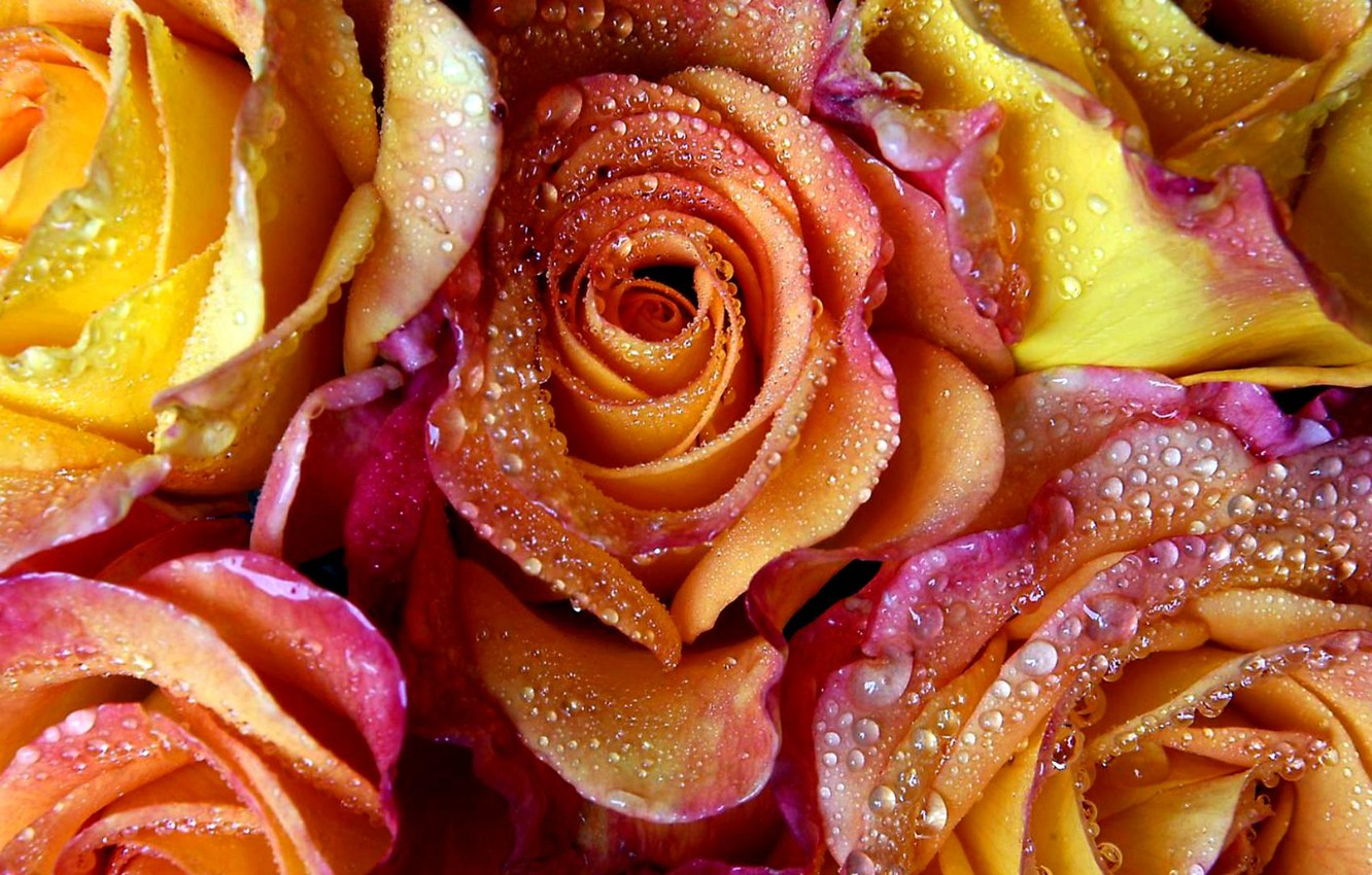 Photo wallpaper water, drops, flowers, Rosa, roses, petals