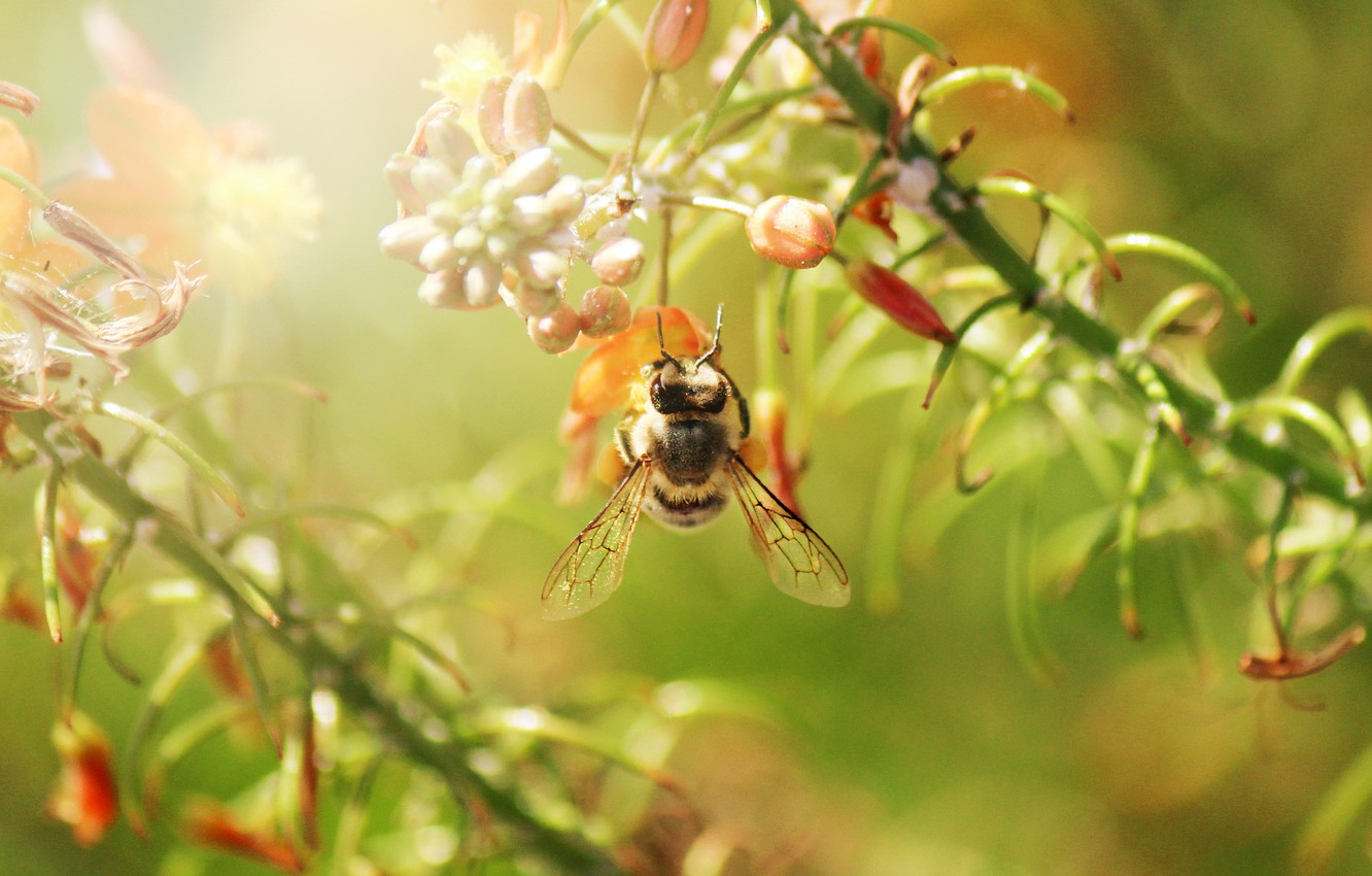 Photo wallpaper flowers, branches, bee, insect, in flight