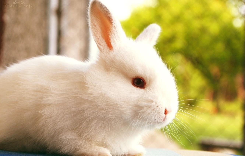 Photo wallpaper white, nature, blur, rabbit