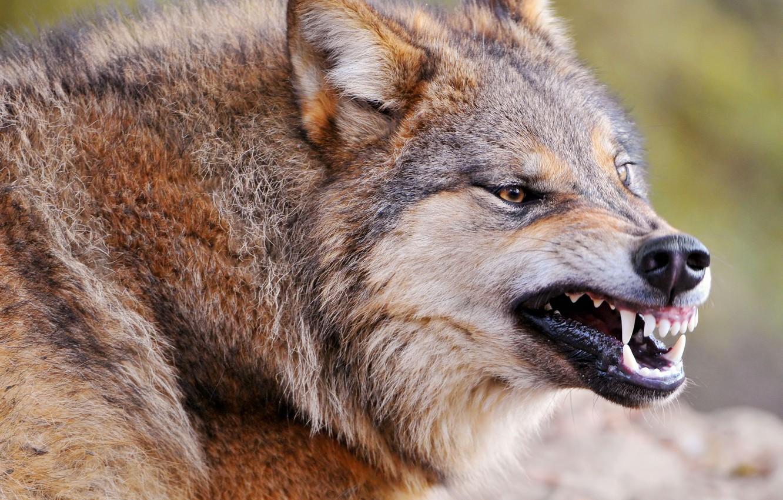 Photo wallpaper anger, wolf, predator, fangs, grin, beast, medic