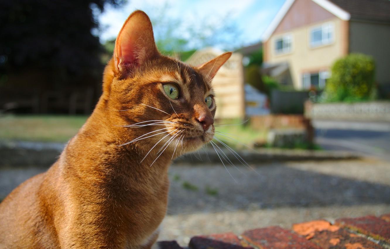 Photo wallpaper eyes, cat, mustache, look, background, Koshak, Tomcat