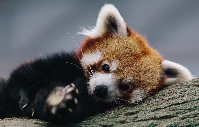 Photo wallpaper background, tree, red Panda, firefox, little