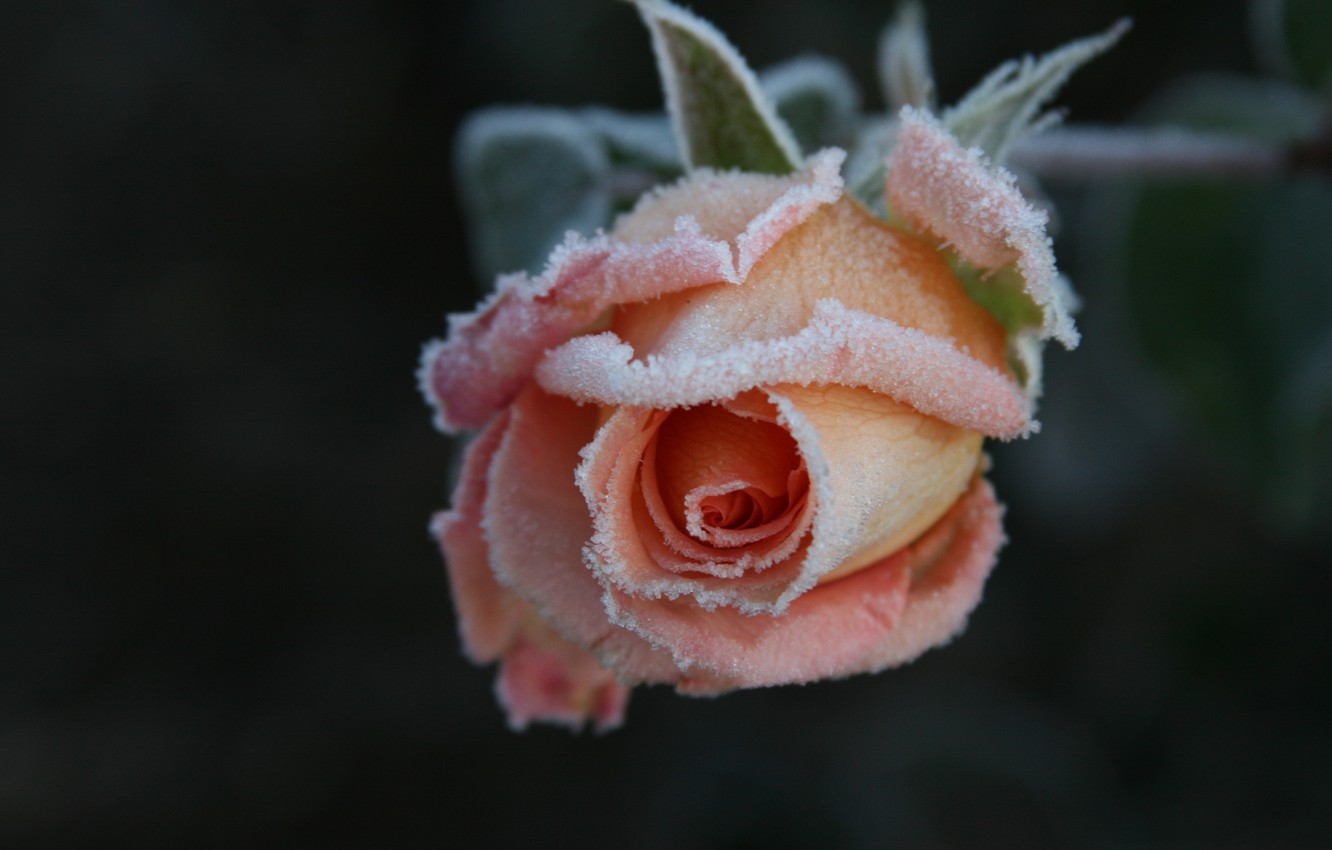 Photo wallpaper cold, frost, flower, macro, flowers, background, Wallpaper, rose, frost