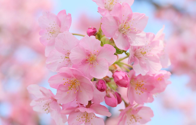 Photo wallpaper macro, cherry, flowering