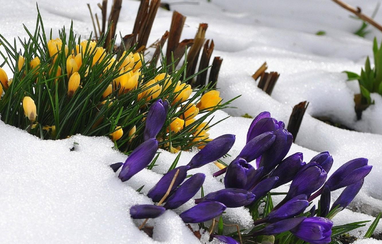 Wallpaper Flowers Snow Crocus Images For Desktop Section