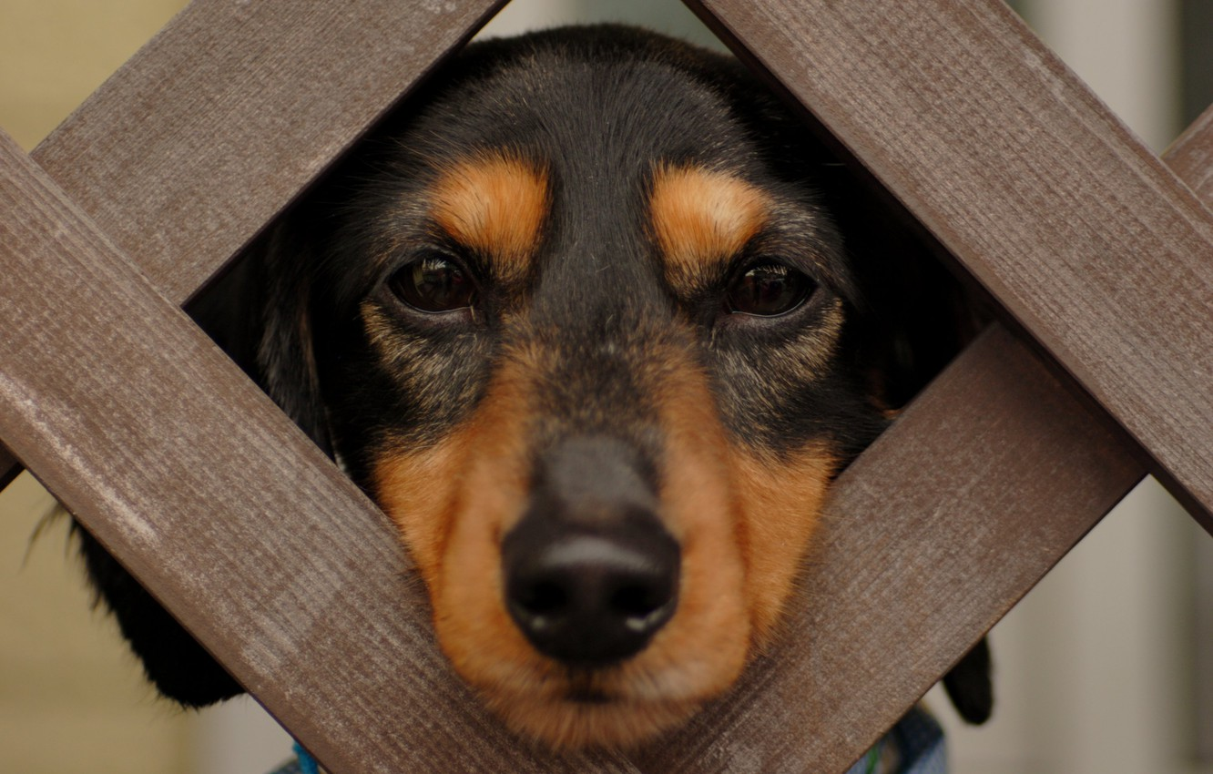 Photo wallpaper eyes, face, wool, nose, Dachshund, Groote