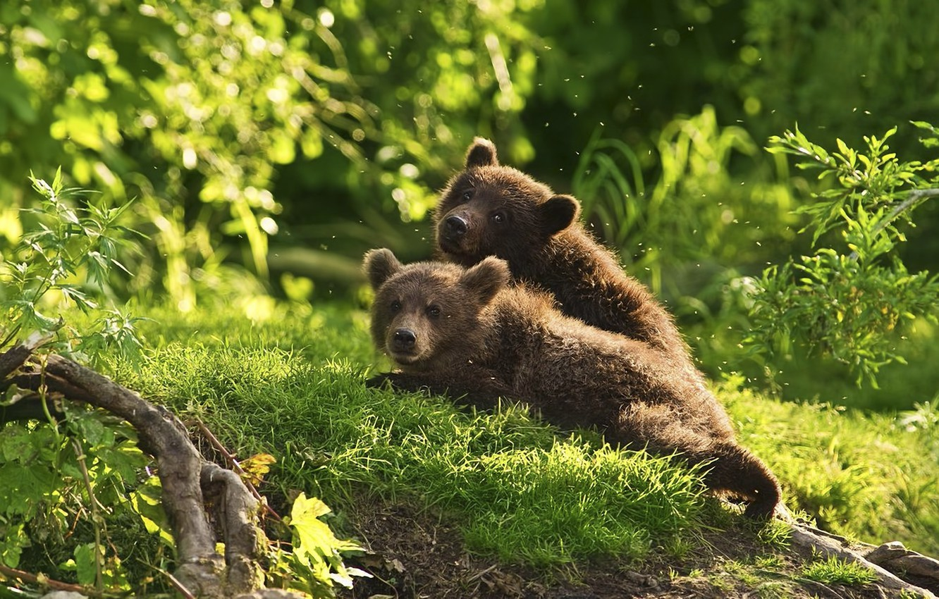Photo wallpaper forest, animals, bears, mosquitoes