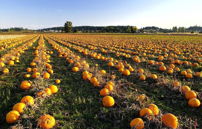 Photo wallpaper field, autumn, pumpkin, Harvest