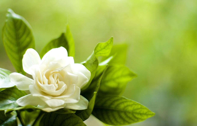Photo wallpaper white, flower, leaves, petals, Gardenia