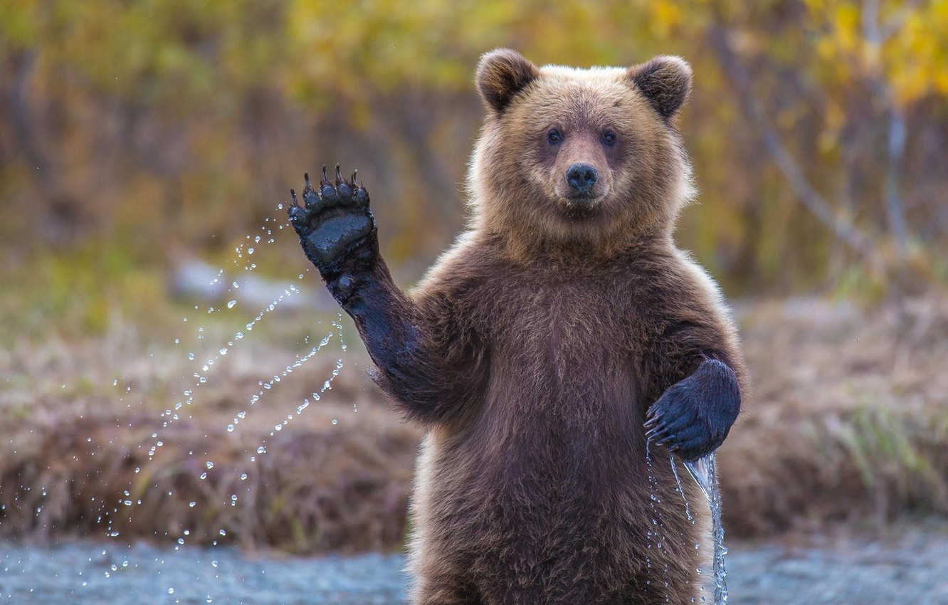 Photo wallpaper bear, hi, Alaska, grizzly