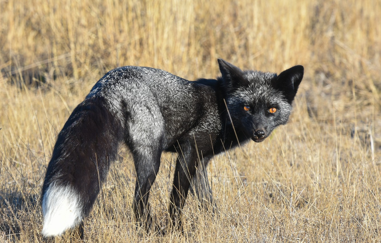 Wallpaper Look Background Fox Silver Fox Images For