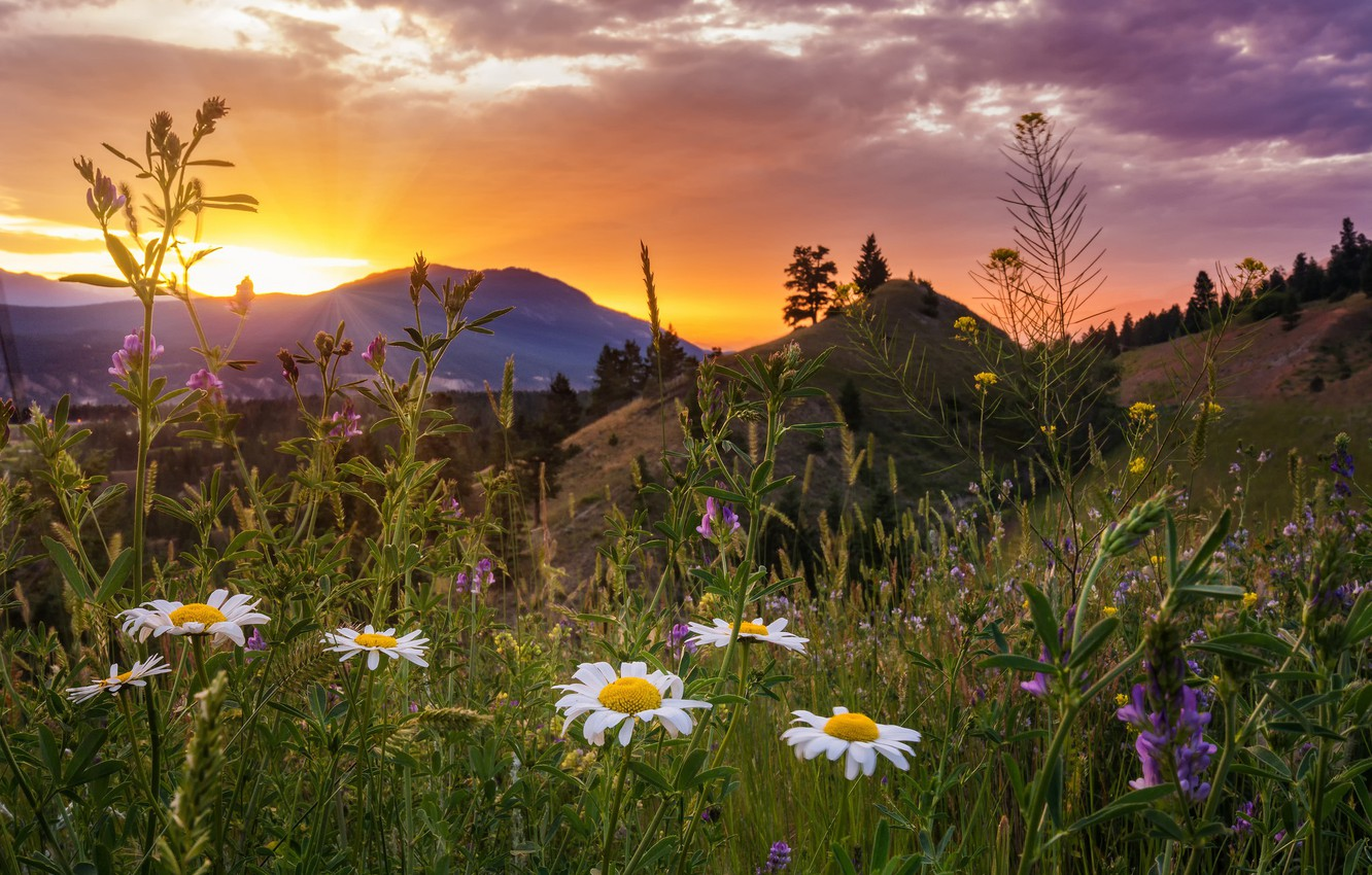 Photo wallpaper sunset, flowers, mountains, chamomile, meadow, Canada, Canada, British Columbia, British Columbia, Kootenay National Park, Kootenay …