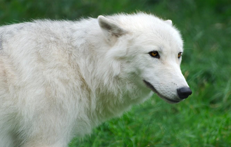 Photo wallpaper white, grass, wolf, Wolf, Arctic, Arctic