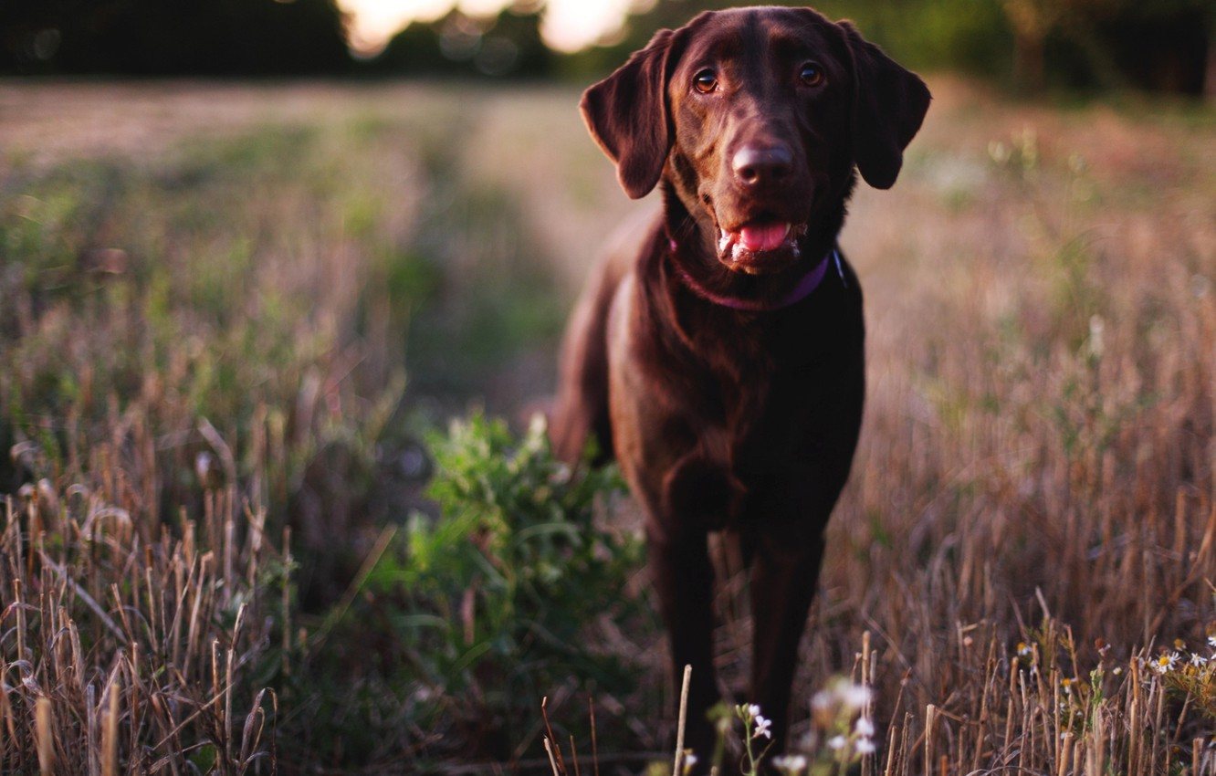 Photo wallpaper eyes, face, dog, nose, dog, Labrador Retriever