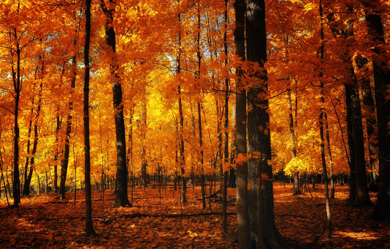 Photo wallpaper autumn, nature, trunks, foliage, orange
