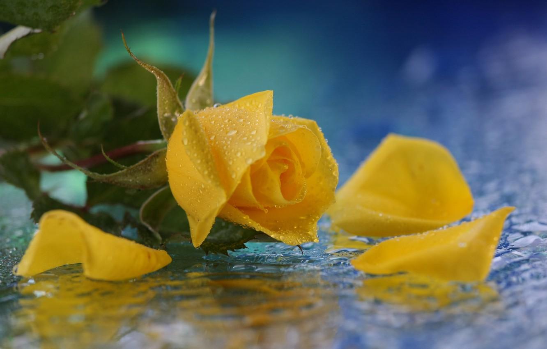 Photo wallpaper flower, water, drops, rose, yellow