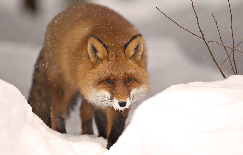 Photo wallpaper winter, snow, nature, animal, Fox, beast, fox, winter, snow, animal