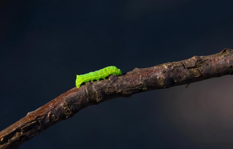 Photo wallpaper caterpillar, branch, 155